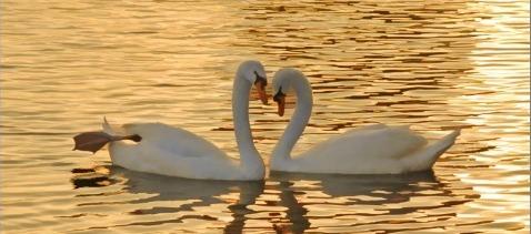 Ljubav labudova